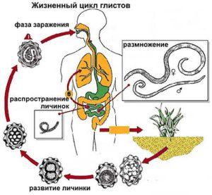 жизнен цикъл паразити